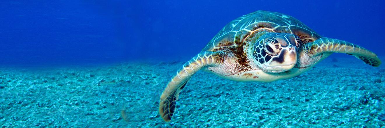 Banner tartaruga